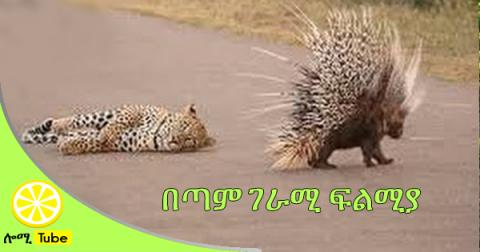 When Prey Fights Back -  Porcupine Kills Leopard